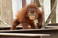 1歳2ヵ月のポポちゃんは、変顔ができます(市川市動物園) - 旅プラスの日記