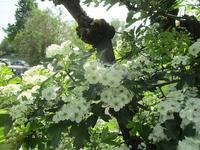 セイヨウサンザシの花が咲きました - フランス Bons vivants des marais Ⅱ