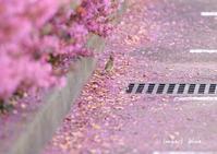 アイガモ公園の花壇にて(^^)/~最終回~ - インパクトブルー