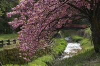 八重桜 - きょうから あしたへ その2