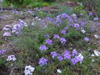 宿根バーベナ - だんご虫の花