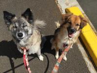 新時代 - 琉球犬mix白トゥラーのピカ