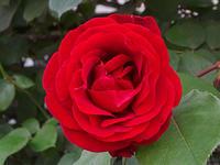 資生堂大阪工場夕刻に薔薇を撮影。 - 写真で楽しんでます!