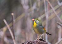 ソウシチョウ - くまさんの鳥撮り