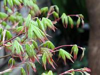新緑のモミジ五月紅ほか - しらこばとWeblog