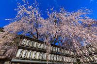 桜咲く京都2019大石桜咲く(大石神社) - 花景色-K.W.C. PhotoBlog