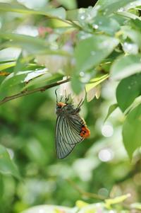 ブルーベリーに集まるチョウ達 - 蝶超天国