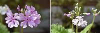 サクラソウ展百合が原公園春を告げる初々しい花です。 - ワイン好きの料理おたく 雑記帳
