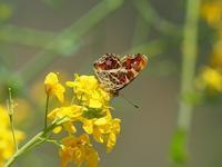 春の蝶を探しにサカハチチョウByヒナ - 仲良し夫婦DE生き物ブログ