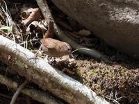 巣作り中のミソサザイ - コーヒー党の野鳥と自然 パート2