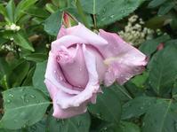 薔薇ブルームーン - いととはり
