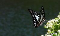 大型連休後半 - 紀州里山の蝶たち