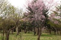 メジロと桜/開花情報 - 今日の鳥さんⅡ
