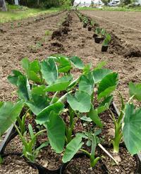 植え付けスタート! - 農と自然のさんぽみち・やまだ農園日記