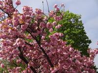 八重桜が満開 - 漆器もある生活