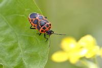 ヒメナガメ 2 - Insect walk