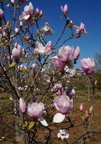 花菜ガーデンにて、桜以外にも沢山の花が・・・ - ソナチネアルバム