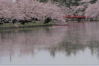 さくらサクラ桜(弘前公園) - お茶にしませんか2