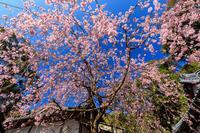 桜咲く京都2019六所神社の紅しだれ - 花景色-K.W.C. PhotoBlog