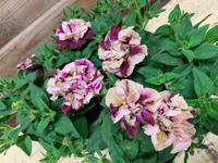 ペチュニア 花舞姫♪♪ - ブレスガーデン Breath Garden 大阪・泉南のお花屋さんです。バルーンもはじめました。