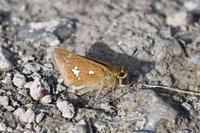 多摩川ミヤマチャバネセセリ・・・平成31年4月29日 - 蝶と自然の物語