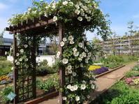 ナニワイバラが咲いています2019年5月初旬のマンション花壇 - ニッキーののんびり気まま暮らし