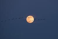 平成最後の満月を飛ぶマガン   ( 宮島沼 ) - 北国の花鳥風月