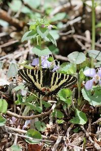 スミレ吸蜜のヒメギフチョウ - 蝶超天国