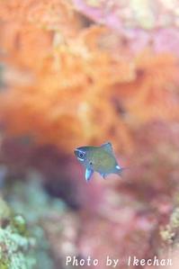 プレッシャーに弱い~アマミスズメダイ幼魚~ - 池ちゃんのマリンフォト
