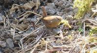 コマドリの近くにいた鳥たち - 湿原と海のそばで