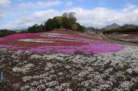 まだ咲いていた! 芝桜 (2019/5/2撮影) - toshiさんのお気楽ブログ