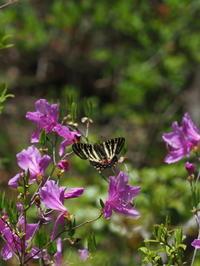 ギンイチモンジセセリ - 自然を楽しむ