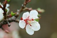 主権在民平和憲法の記念日に咲く梅花 - 照片画廊