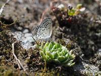 春の蝶を探しにクロツバメシジミByヒナ - 仲良し夫婦DE生き物ブログ