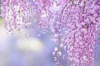 藤の花 - PhotoWalker*