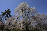 圧倒的桜。平成FINAL - Olive Drab