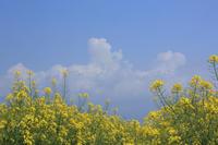 菜の花と白い雲 - 風の彩り-2
