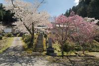 桜巡り2019@京北福徳寺 - デジタルな鍛冶屋の写真歩記