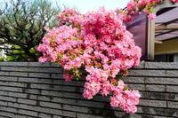 我が家の花つつじ咲く - 風の便り