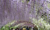 新幹線で行く九州花の楽園めぐり その2 河内藤園の藤棚 - 猫の畳返し