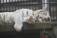 2019.5.1 宇都宮動物園☆ホワイトタイガーのシラナミ姫【White tiger】 - 青空に浮かぶ月を眺めながら