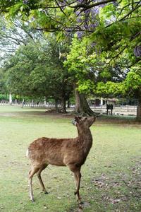 藤を食べている鹿に出会った - ほんじつのおすすめ