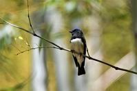 竹林のオオルリさん - 鳥と共に日々是好日