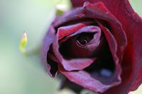 今日の旧古河庭園黒真珠カクテルガーディナルジャーマンアイリス - みるはな写真くらぶ