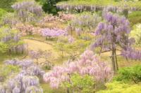 藤まつり ②- 蓮華寺池公園 - - やきつべふぉと
