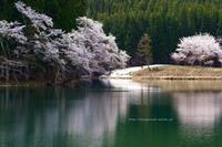 栄村~新潟県津南町中子の桜 - 野沢温泉とその周辺いろいろ2