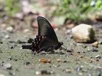 アゲハ類の発生状況確認 - 蝶超天国