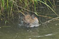 クイナの水浴び - 近隣の野鳥を探して