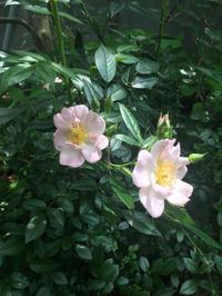 一重のバラ - Pikki58's Blog