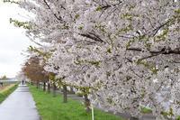 札幌市新川の桜と夕張サワダ珈琲店 - ワイン好きの料理おたく 雑記帳